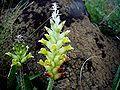 Lachenalia orchioides