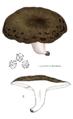 Lactarius blennius nach Lange.png