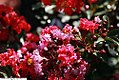Lagerstroemia indica Tightwad Red 1zz.jpg