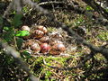 Lagopus lagopus nest.jpg