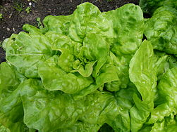 Lactuca sativa wikipedia la enciclopedia libre for Verduras francesas