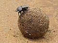 Large Copper Dung Beetle (Kheper nigroaeneus) on top of its dung ball (12615241475).jpg