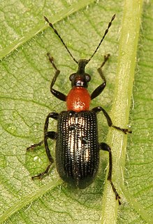 <i>Eugnamptus</i> Genus of beetles