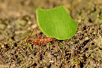 Leafcutter ant - Leafcutter ant in Costa Rica