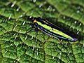 Leafhopper (Macumada tergiplagatula) (7621328714).jpg