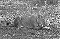 Leeuwen los in Burgers Dierenpark te Arnhem, Bestanddeelnr 921-3421.jpg