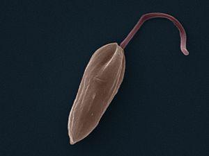 Trypanosomatida