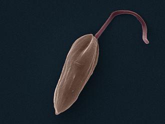 Trypanosomatida - Image: Leishmania Mexicana Promastigote SEM