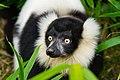Lemur (26080946838).jpg