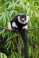 Lemur (36476059164).jpg