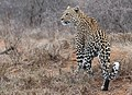 Leopard in Südafrika (Ausschnitt).jpg