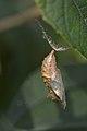 Lepidoptera Pupa - London, Ontario.jpg