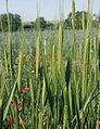 Les Plantes Cultivades. Cereals. Imatge 1782.jpg