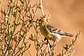 Lesser Goldfinch (28710820842).jpg