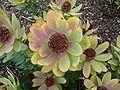 Leucadendron tinctum flower.JPG