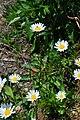 Leucanthemum vulgare (3) (8814154003).jpg