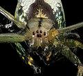 Leucauge venusta, Orchard Orb Weaver, U, Face, MD, Upper Marlboro 2013-06-21-15.01.37 ZS PMax (9129905299).jpg