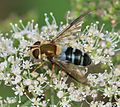 Leucozona glaucia (female) - Flickr - S. Rae.jpg