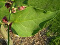 Leycesteria formosa 0.5 R.jpg
