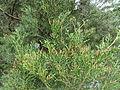 Libocedrus bidwillii 1.JPG