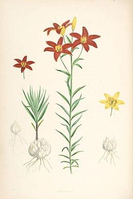 Lilium concolor (lit)