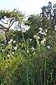 Lilium formosanum (Liliaceae) (4756633689).jpg