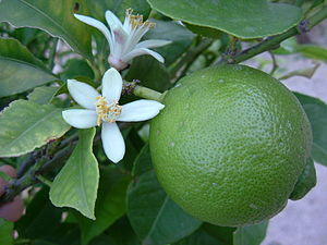 Lime and blossom growing in Valencia, south Sp...