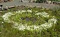 Limnanthes vinculans 4.jpg
