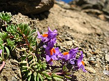 flowers of alpine toadflax on rocky ground