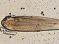 Linguatula serrata (YPM IZ 095405).jpeg