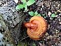 Lingzhi Mushroom.jpg