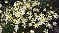 Linum suffruticosum jimenezii.jpg