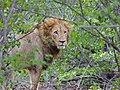 Lion (Panthera leo) (11754864093).jpg