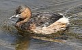 Little Grebe (or Dabchick), Tachbaptus ruficollis, at Marievale Nature Reserve, Gauteng, South Africa - non-breeding plumage (21419008131).jpg