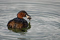 Little Grebe Ringwood.jpg