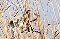 Little bittern, Ixobrychus minutus, at Marievale Nature Reserve, Gauteng, South Africa (14456393443).jpg
