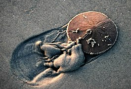 Live Sand Dollar trying to bury itself in beach sand