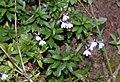 Lobelia sp. (Campanulaceae) (25255675599).jpg
