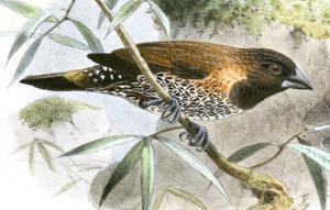 Black-throated munia - Lonchura kelaarti kelaarti