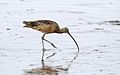 Long-billed curlew, Numenius americanus, Moss Landing (Elkhorn Slough and beach), California, USA. (30837199512).jpg