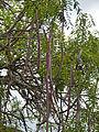 Long-pod Cassia (Cassia abbreviata) (12033082224).jpg