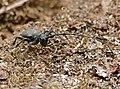 Longhorn Beetle (Morimus asper) on deadwood ... (35341830992).jpg