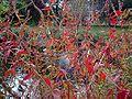 Loosestrife (Lythrum salicaria ).jpg