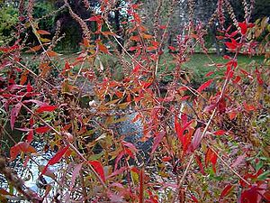 Lythrum salicaria - Bright crimson leaves at the onset of autumn