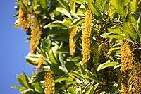 Lophanthera lactescens Flowers 3