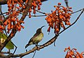Loten's Sunbird Cinnyris lotenius Female DSCN0021 (1).jpg