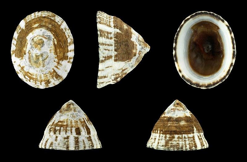 File:Lottia leucopleura 01.JPG