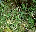 Lotus pedunculatus12 ies.jpg