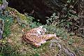 Luchs auf Felsvorsprung putzt sich im Tierfreigelände Nationalpark Bayerischer Wald.jpg