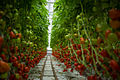 Lufa Farms Red Cocktail Tomato Row.jpg